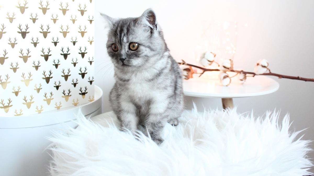 Mia Britse Korthaar kitten