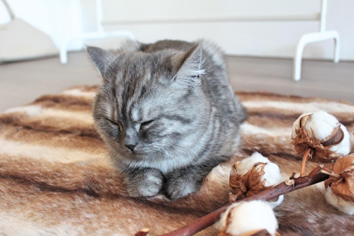 Britse korthaar kitten Mia